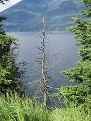 Photogenic dead tree (jamica1) Tags: kootenay lake bc british columbia canada