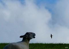 """I will blow you away ... (caren (Thanks for 2.0 Mio+ views)) Tags: ewe kite milan sheep schaf countryside rural welshcountryside ceredigion cymru silhouette farm"