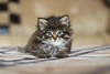 Mathéo (MJC.Photography) Tags: cat cats animal animals chat chats chaton puppy babycat