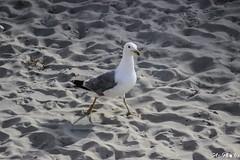 IMG_0483 (Azezjne (Az photos)) Tags: canon 75300 50 stm 600d berck sur mer bercksurmer cote côte dopale bromance plage sable bokeh zoom coucher soleil sunset beach sand eclipse dune mouette animaux animalière flou 75 300