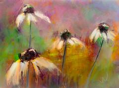 "Echinacea (""Jimmer"" ( http://jim-vance.pixels.com )) Tags: flowers garden"