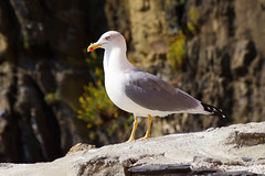 Birds of Cinque Terre (Davien Orion) Tags: oakesproductions sonya77 adobephotoshop italy coast cinqueterre riomaggiore birds rivieradilevante