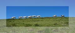 A La File Indienne... (sabinelacombe) Tags: hautespyrénées vaches troupeau bleu vert montagne paturage