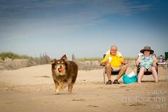 SZP_8834_pslr5 (Lakeside Annie) Tags: 2017 20170719 aussie australianshepherd bethanybeach bethanybeachde bethanybeachdelaware d7100 delaware denali july19 leannefzaras nikon nikond7100 redtri redtriaussie sarazphotography sigma sigma1770mm wednesday beachdog dog sandynose sandypaws beach delawarebeach