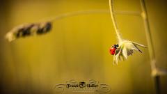 DSC_2864 (Franck.H Photography) Tags: macro insectes araignée coccinelle