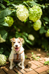 Surrounded by the Flowers (moaan) Tags: kobe hyogo japan jp dog dogportrait jackrussellterrier kinoko expression smile smiling flower flowering flora hydrangea mtrokko dof bokeh bokehphotography leica mp leicamp type240 noctilux 50mm f101 leicanoctilux50mmf10