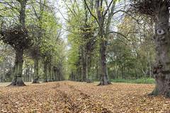 Limetree Avenue, Clumber Park (Pabs777) Tags: nikond7200 nikon d7200 nikonafs1755mmf28g nationaltrust wood woodland park parkland tree trees autumn leaves countryside nottinghamshire uk 2016