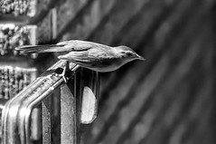 Taking Flight (m1hoff) Tags: blackandwhite sigma50100mm18dcart sigmalenses wings nature animal one bird fly feathers cute fast