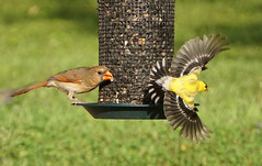 Cardinal bullies Goldfinch flies (fiddlejean) Tags: female cardinal goldfinch feeder sunflower seeds interaction birds wings fleathers spread