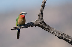 White Fronted Bee Eater (dunderdan77) Tags: bird wing feather south africa pilanesberg nikon tamron wildlife outdoor nature safari