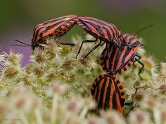 Gruppenkuscheln (wernerlohmanns) Tags: wildlife outdoor makro nikond7000 sigma105 insekten käfer wanzen streifenwanzen