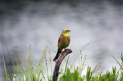 keltasirkku, yellowhammer (Raimo Mikkonen) Tags: sirkut pikkulintu keltasirkku salla emberizidae