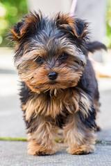 2017-07-24 01-047 (Iain Spowart) Tags: cookie female puppy yorkshireterrier