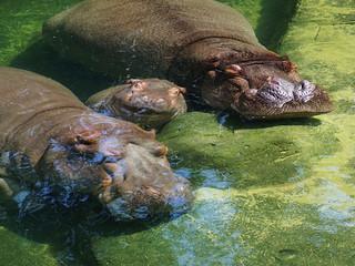Flußpferd Familie