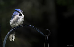 Morning breeze (jm atkinson) Tags: blue jay bluejay bird backyard maine breeze 7dwffauna