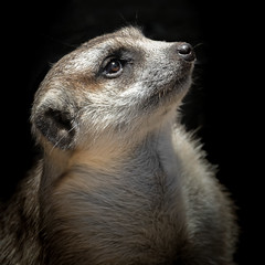 Sky Watcher [In Explore 7/24/17] (helenehoffman) Tags: africa mongoosefamily conservationstatusleastconcern suricatasuricatta nature sandiegozoo meerkat wildlife mammal suricate carnivore animal
