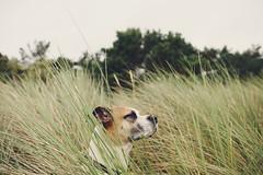 29/52 the watchful one (Jutta Bauer) Tags: 52weeksfordogs 52weeksforedgar 2952 dog boxermix pitbullmix edgar excellentedgar beach dunes watchful summer