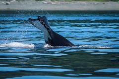Orca near Campbell River, BC. (Anne McKinnell) Tags: orcinusorca britishcolumbia campbellriver canada georgiastrait killerwhale ocean orca pacific vancouverisland whale animal wildlife