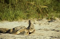 Green Sea Turtle leaving the nest (dubrick321) Tags: beach floridawildlfe greenseaturlte reptiles seaturtle seaturtlenesting cheloniamydas archiecarrnationalwildliferefuge