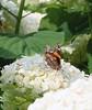 Red Admiral butterfly 2 (REGOR NOTPUL) Tags: orbweaver spider arachnid dragonfly odonata lepidopteran skipper silverspot red admiral eastern coma apis melifera honeybee harvestman greenbottle fly glenburnie ontario bug crawl