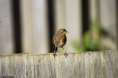 Juvenile robin (Soumen nk) Tags: robin bird nature wildlife