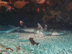 Whitetip reef shark, Weißspitzen-Riffhai (Triaenodon obesus)
