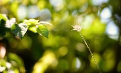 Will We Ever Meet ! ... Destiny (Hazem Hafez) Tags: green garden plants bright dandelion reachingout leaves stem greenery