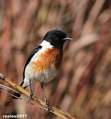 Male African Stonechat (Saxicola torquatus) (ruslou (More off than on)) Tags: maleafricanstonechatsaxicolatorquatus africanstonechat gewonebontrokkie saxicolatorquatus rietvleinaturereserve pretoria southafrica ruslou