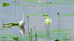 Wading Egret (Suzanham) Tags: greategret bird wading aquaticbird wadingbird lotus lake lilypads mississippi noxubeewildliferefuge southern wet canonpowershotsx60hs summer white reflection outside