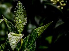 Nature, in the rain......(click to enlarge) (tomk630) Tags: nature dawn raindrops rain light dark virginia naturepreserve