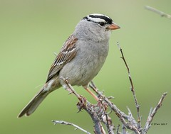 IMG_6927 white crowned sparrow (starc283) Tags: bird birding birds starc283 wildlife nature naturesfinest canon canon7d 100400lens 100400 flickr flicker sparrow whitecrownedsparrow