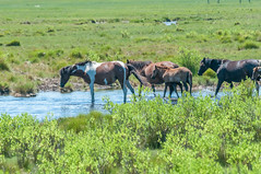 07082017-241-1 (bjf41) Tags: chincoteague horses wild herd colts