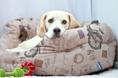 Sadie (Sue Armsby) Tags: sadie dog bed new pet home lab beagle