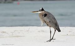 IMG_0772 (wandaherrington) Tags: heron alabamabeaches beachtown birds beautiful sand sunshine southalabama summer days homeplace canon emerald coast