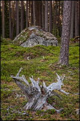 Stubbe och sten (Jonas Thomén) Tags: stubbe stump sten rock stone skog forest mossa moss träd trees morning morgon landscape landskap lavar lichen summer sommar outdoor