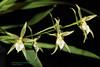 Odontoglossum astranthum 6370 (A. Romanko) Tags: odontoglossum astranthum