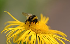 Busy Worker (frankvanroon) Tags: hardworker busy bumblebee bee yellow flower 7dwf fauna nature wings