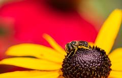 Bee (tgorsak) Tags: flowers wentworth bee blackeyedsusan