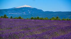 Couleur lavande (PierreG_09) Tags: alpesdehauteprovence lavande lavandin ventoux montventoux ラベンダー 薰衣草 lavender laventeli lavanda lavendel izpilikua λεβάντα