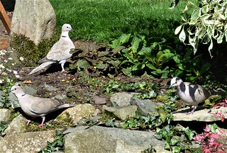 The garden:  A trio of Collared Doves