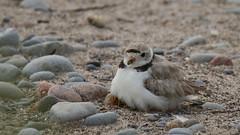 Piping Plover - Mom & Chicks (Sandra_Gilchrist) Tags: sandragilchrist pipingplover plover darlingtonprovincialpark provincialpark darlington clarington claringtonon ontario