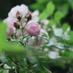 Sentiments (nathaliedunaigre) Tags: roses fleurs macro douceur softness tendresse tenderness carré square