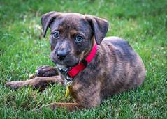 Nina (7822) (jim fleckenstein) Tags: rescue puppy mixbreed animal canon eos 70d dof innocent canine cute cuddly puppylove animaldeestimação cucciolo chiot szczeniak pentu hundehvalp