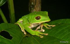 Tarsier leaf frog, Phyllomedusa tarsius (Ecuador Megadiverso) Tags: amazon amphibian andreaskay anura ecuador frog hylidae phyllomedusatarsius rainforest reservaecologicatamandua tarsierleaffrog