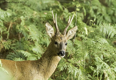 Roe Buck (Nobby1968) Tags: roe deer buck canon 7d mk2 70200 is usm mammal uk british nature wildlife woods trees outdoors