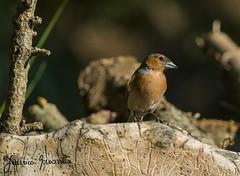 fringuello maschio (federicomazzetto) Tags: fringuelli fringuello bird birds uccelli uccello bosco wild natura