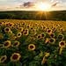 Au Soleil couchant (Croc'odile67) Tags: nikon d3300 sigma paysage landscape coucherdesoleil tournesol sunflower sunset nature