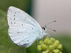 Celastrina argiolus (Holly blue)