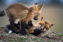 Siblings (~ Bob ~) Tags: tamron fox nikon baby nature d500 den kit sanjuanisland feisol mammal washingtonstate wildlife