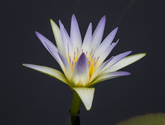 Waterlily (tresed47) Tags: 2017 201707jul 20170705longwoodflowers canon7d chestercounty content flowers folder july lily longwoodgardens macro pennsylvania peterscamera petersphotos places ringflash season summer takenby technical us waterlily